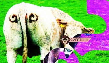 0d7de4a4148b21c6 704667 Researcher Paints Eyes on Cow Butts to Deter Lions