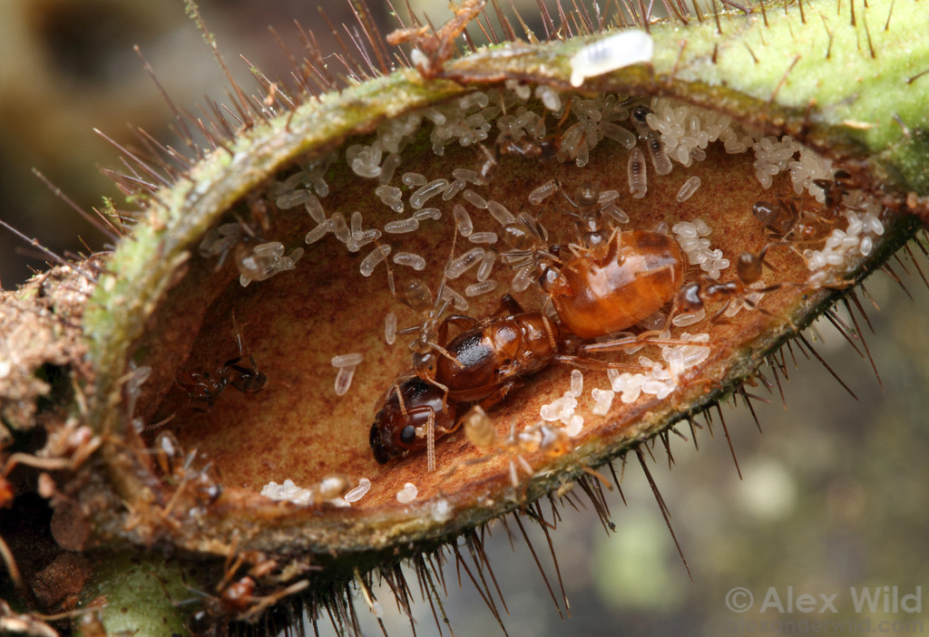 Queen ants with eggs