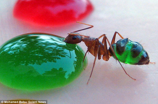 ants have transparent stomachs