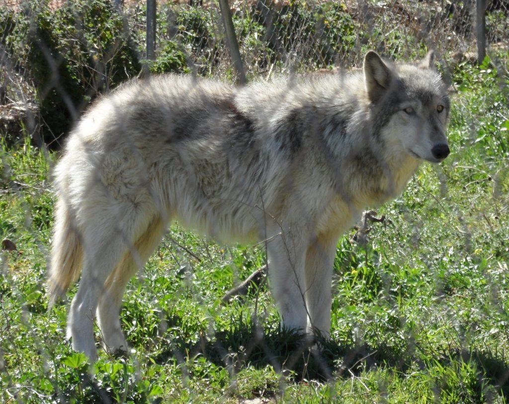 Wolf Hybrid.