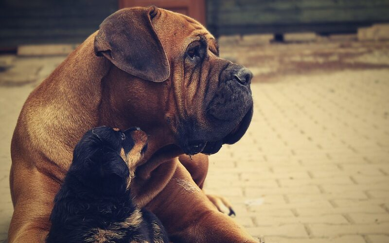 rottweiler 869007 960 720 Top 10 Most Dangerous Dog Breeds in the World