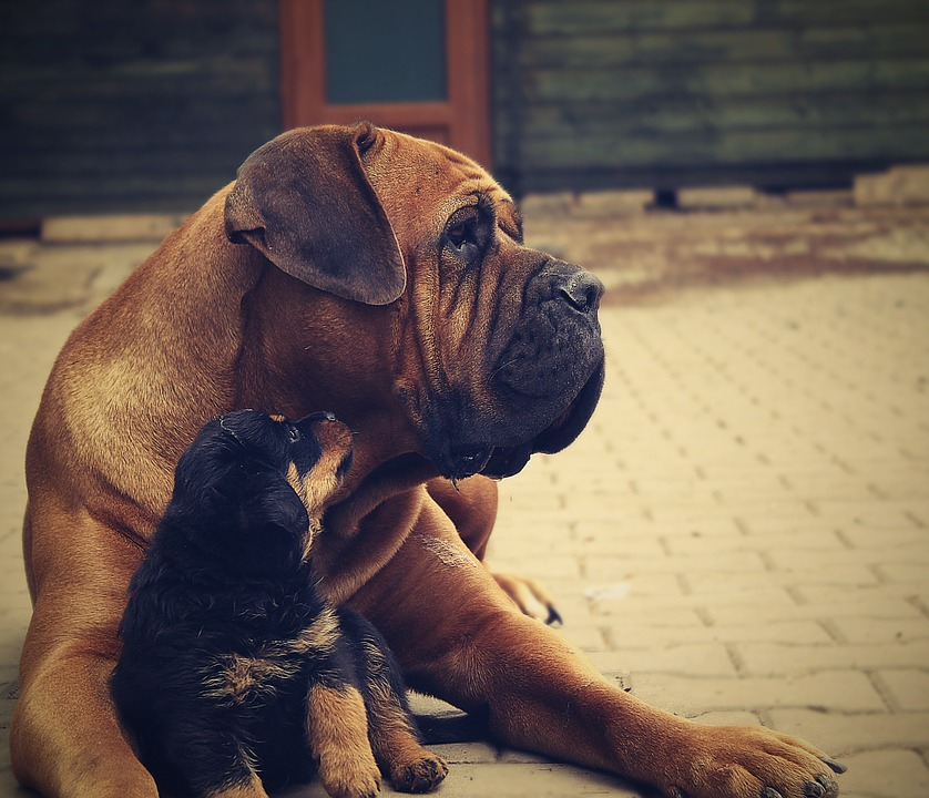2) Rottweilers.