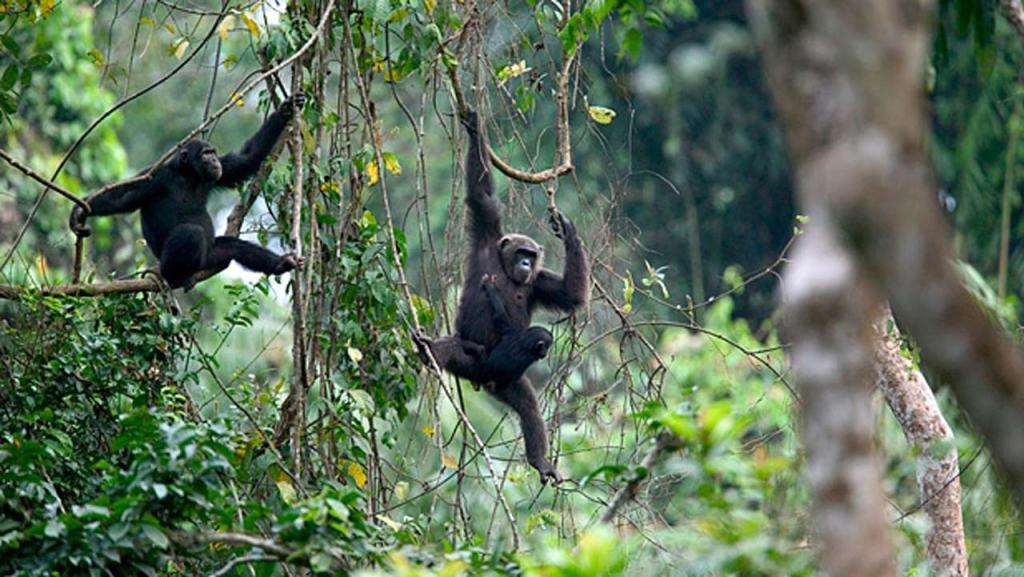 Calabar drill ranch monkeys 9 Most Beautiful Cities in Nigeria.